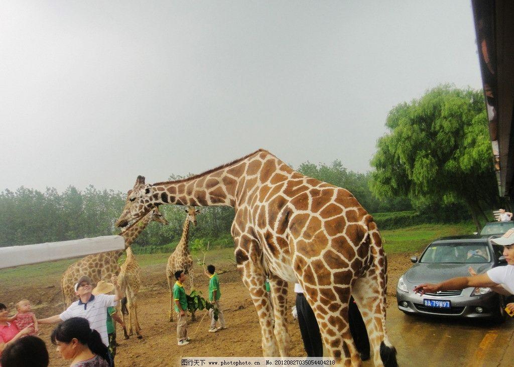 长颈鹿吃东西 喂食 动物园 长脖子 可爱 摄影