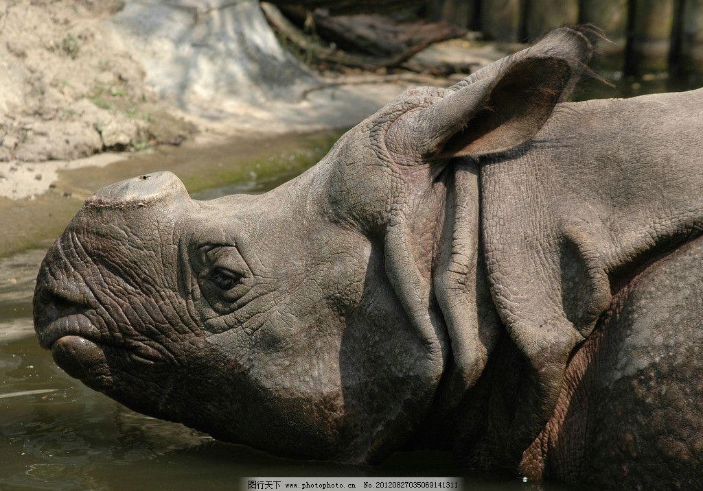 犀牛 牛角 动物 野生动物 犀牛皮 动物摄影 生物世界 摄影 300dpi jpg