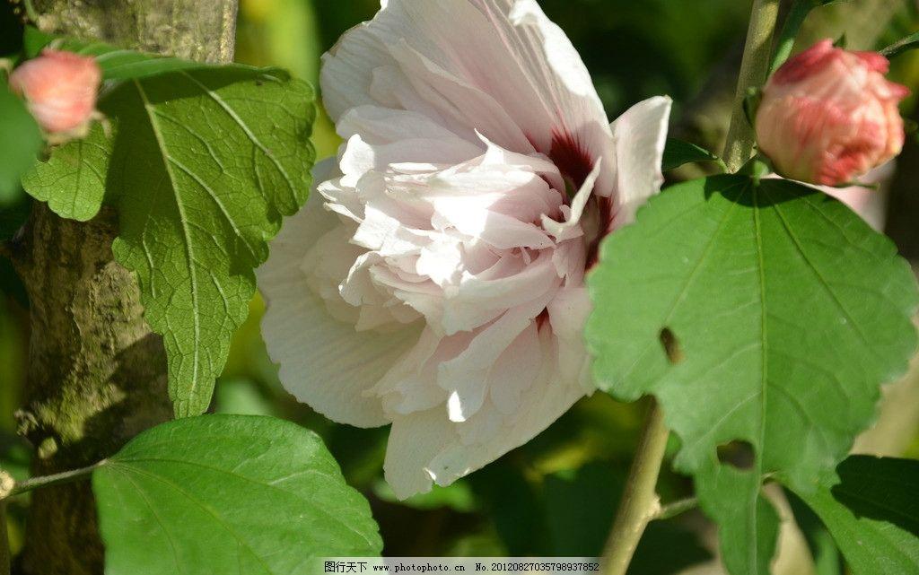 木槿花 花卉 朝开暮落花 单生 叶腋 花冠 钟状 白色 重瓣 花卉系列