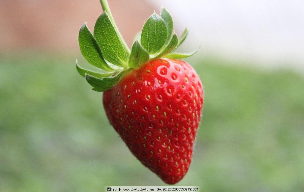 草莓 一个 鲜红 新鲜 特写 单个 草莓特写 背景虚化 水果 生物世界