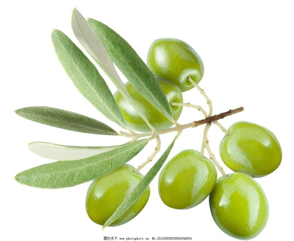 橄榄树枝图片