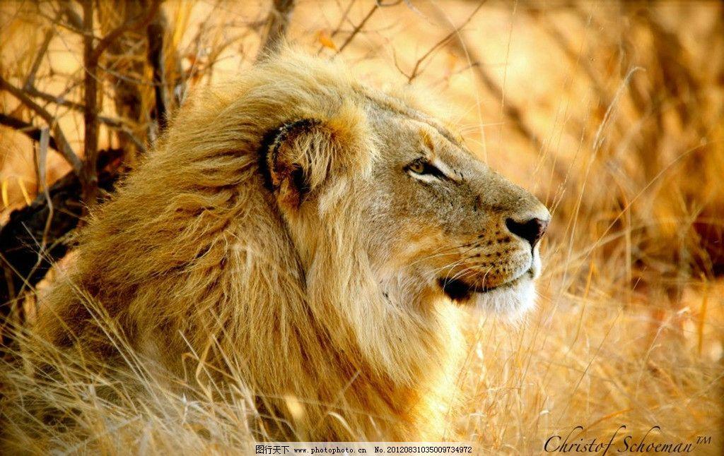狮子 非洲狮 咆哮 雄狮