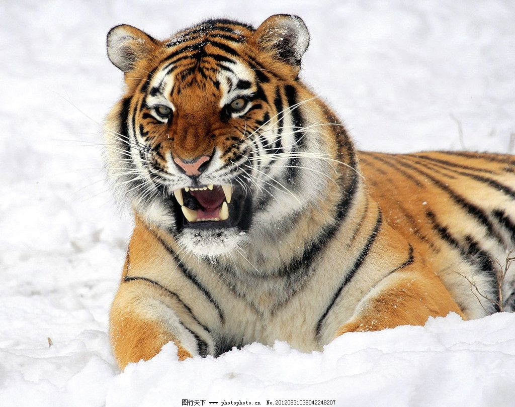 亚洲虎 百兽之王 森林之王 生物世界 东北虎 老虎图片 野生动物 摄影