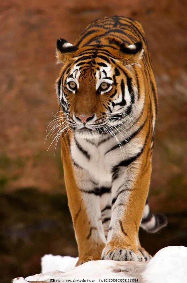 动物老虎gif