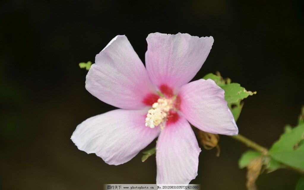 木槿花 花卉 朝开暮落花 单生 叶腋 花冠 钟状 粉红色 单瓣