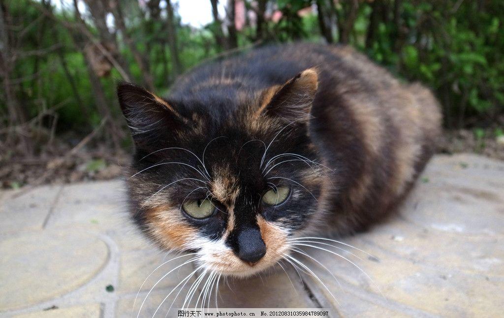 大花猫 小猫 动物 植物 地板 生物 可爱 家禽家畜 生物世界 摄影 72
