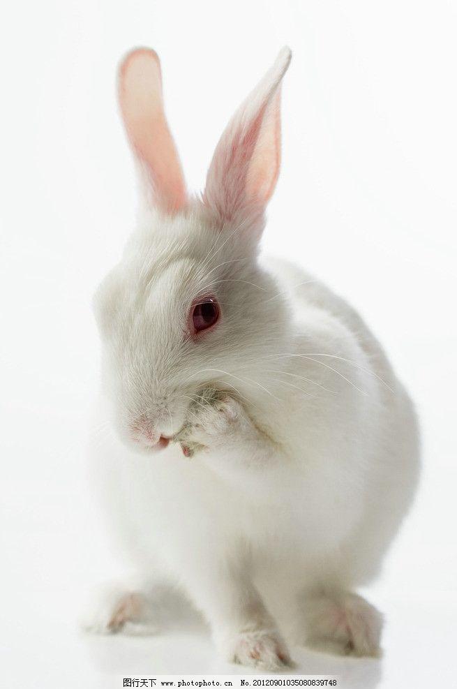 小白兔图片_野生动物_生物世界_图行天下图库