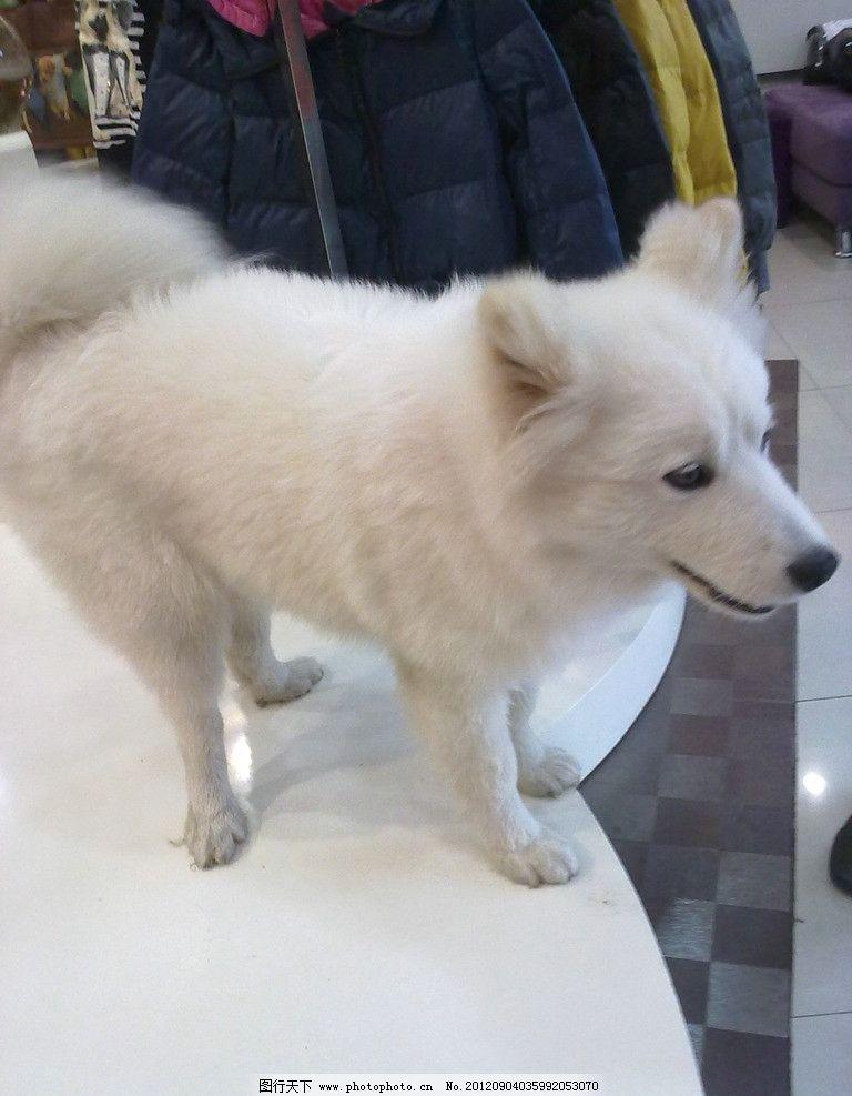 狗狗 白色 小狗 可爱 家禽家畜 生物世界 摄影 300dpi jpg