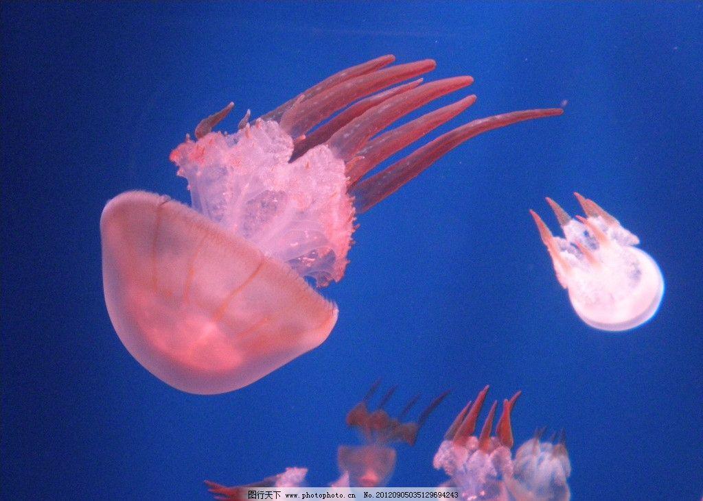 水母 海洋生物 海底 海月姬 软体动物 红色水母 生物世界 摄影 72dpi