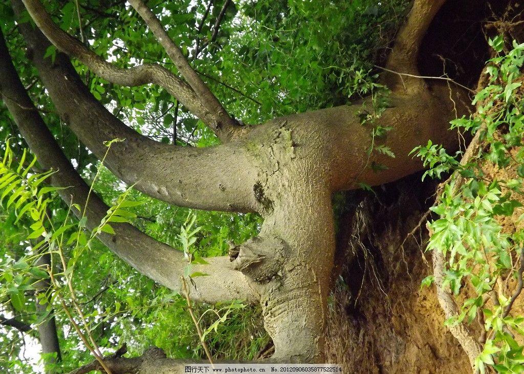 树木 树根 大树 崖畔 滑坡 树木树叶 生物世界 摄影 72dpi jpg