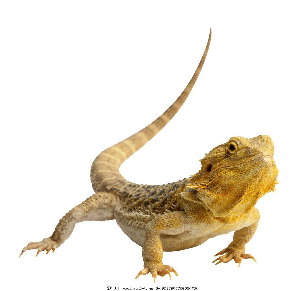 蜥蜴 四脚蛇 野生动物 生物世界 摄影 300dpi jpg