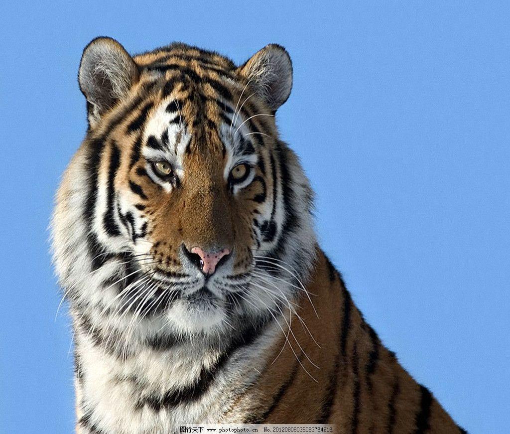 华南虎 野生动物 生物世界 摄影 100dpi tif