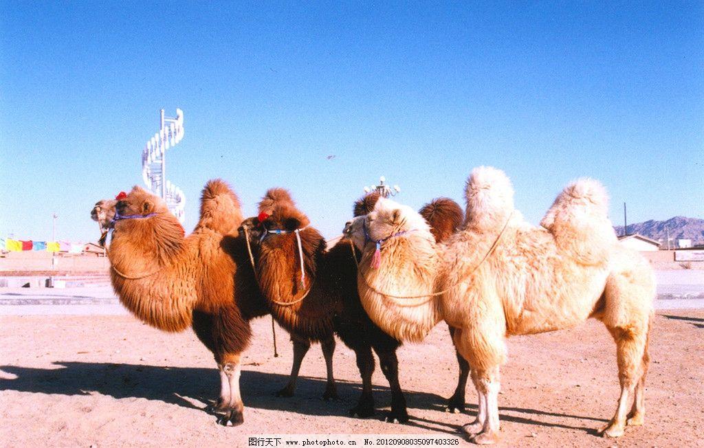 骆驼 双峰驼 野生动物 生物世界 摄影 200dpi jpg