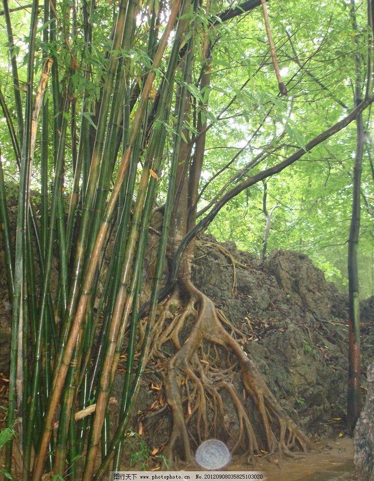 藤树 藤根 竹林 树木树叶 生物世界 摄影 72dpi jpg