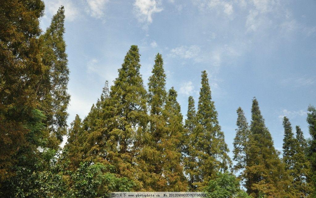 森林 蓝天 白云 森林公园 水杉 树木树叶 生物世界 摄影 300dpi jpg