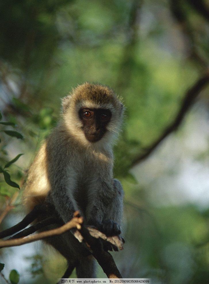 猴子 小猴 黑胡猴 生物摄影 野生动物 生物世界 摄影 350dpi jpg