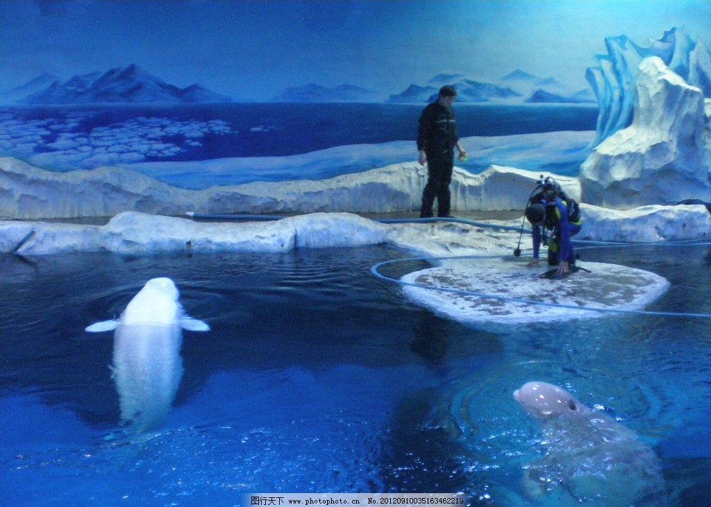 水族馆白鲸 白鲸 海水 水族 冰川 海洋 动物 水族馆 海洋生物 生物