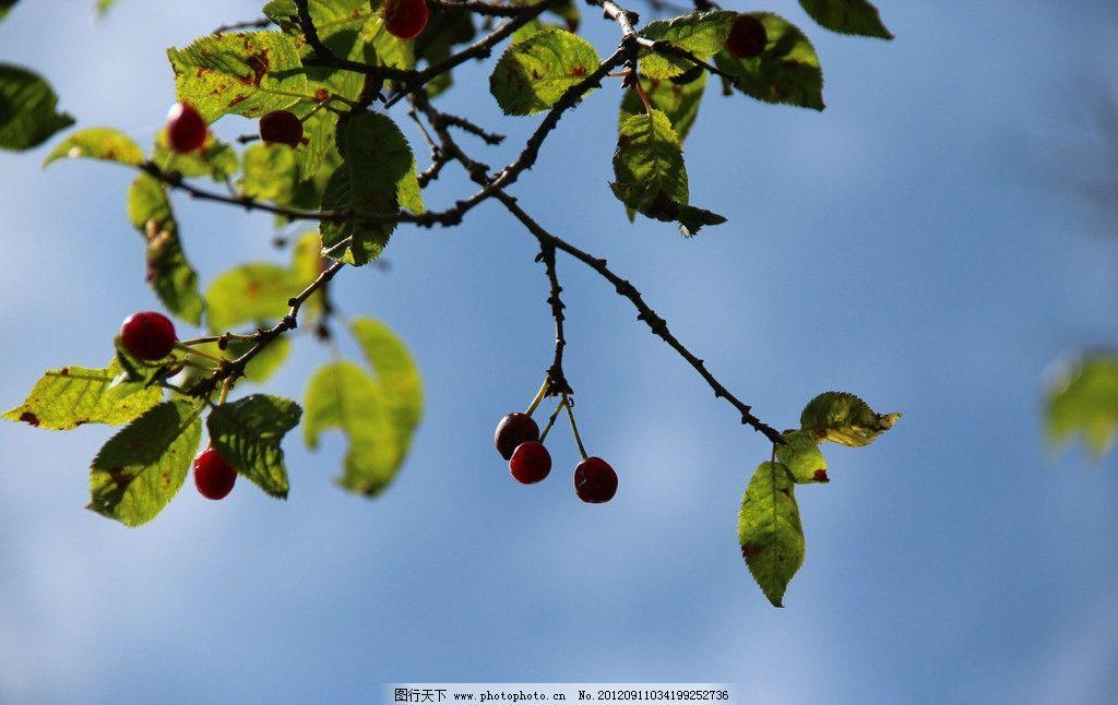 樱桃 树叶 叶子 逆光 果实