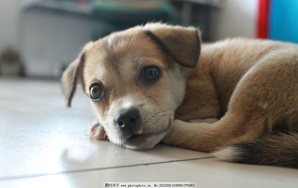 狗狗 小狗 可爱 趴着 卧着 睡觉 大眼睛 家禽家畜 生物世界 摄影 72