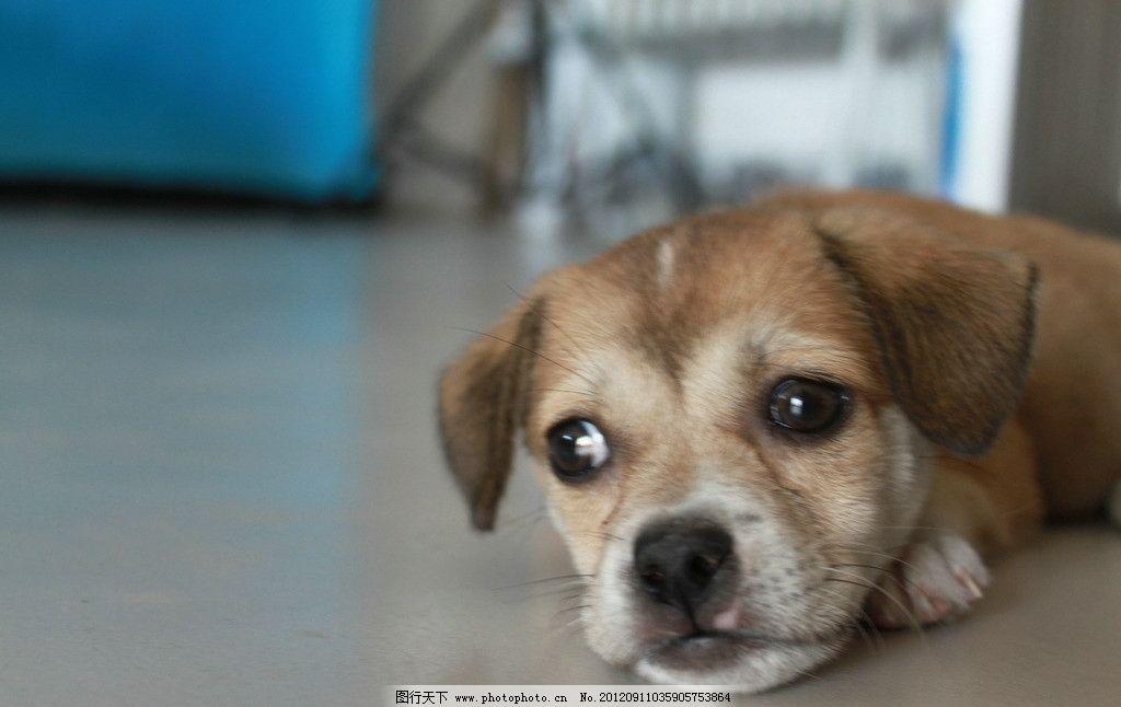 狗狗 小狗 可爱 趴着 卧着 张望 大眼睛 家禽家畜 生物世界 摄影 72