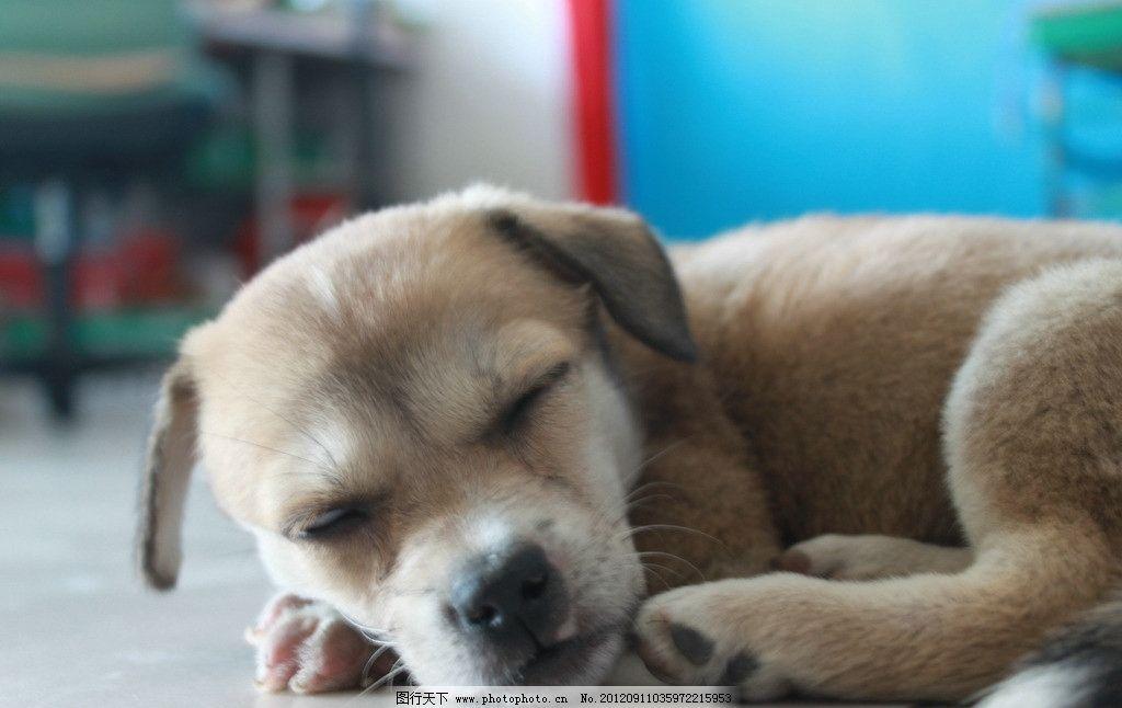 可爱小狗 小狗 狗狗 可爱 趴着 卧着 睡觉 眯眼 家禽家畜 生物世界