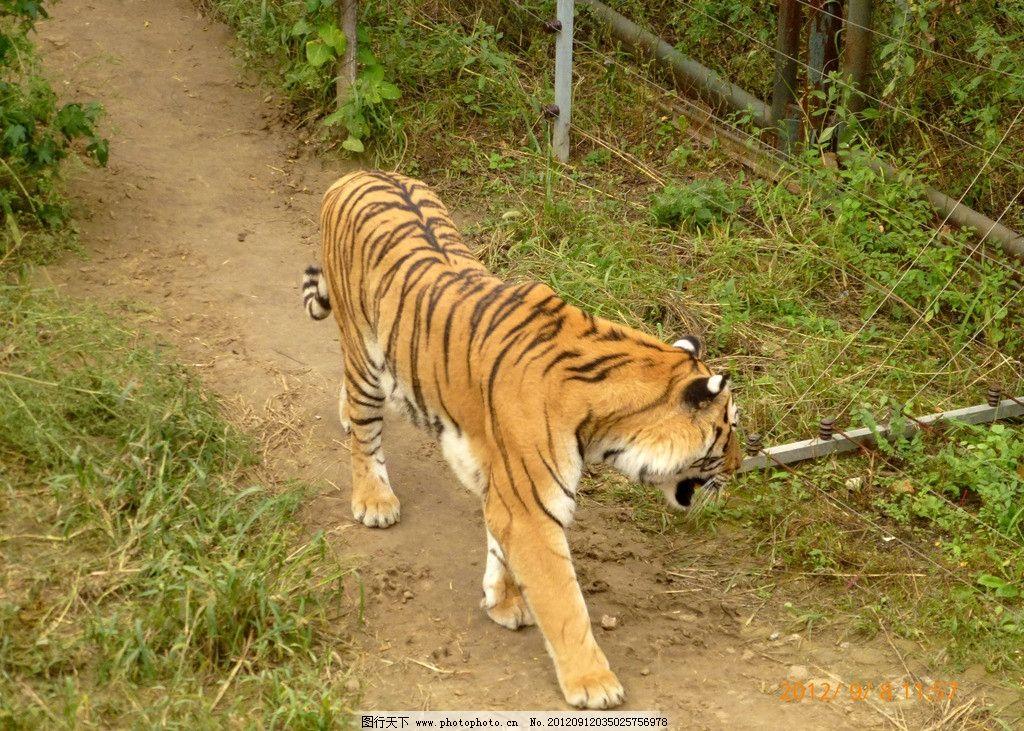老虎 东北虎 野生动物 猫科动物 食肉动物 动物园 猛兽谷 条纹 威风