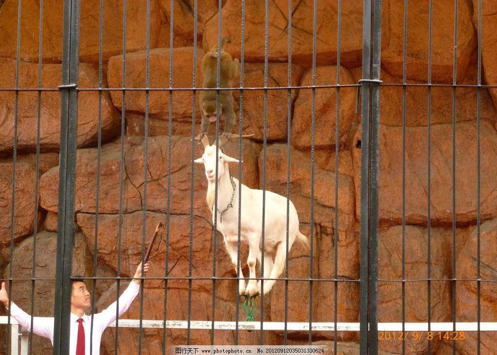 动物表演 野生动物 驯化 山羊 猴子 驯兽表演 笼子 驯兽员 技巧 平衡