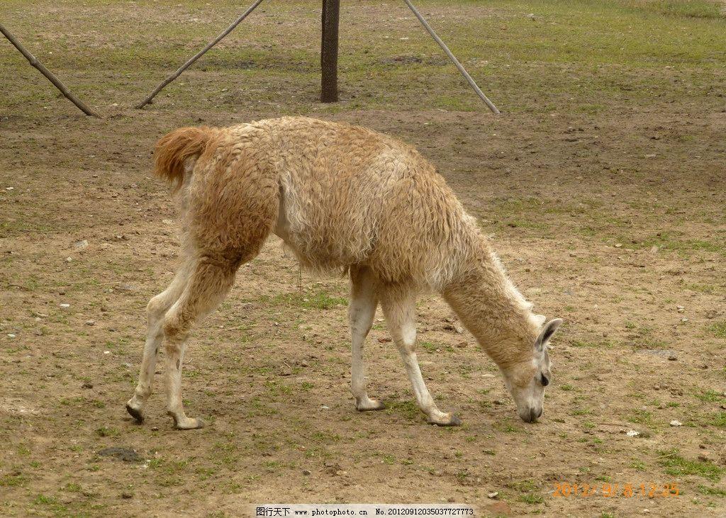羊驼 野生动物 食草动物 动物园 草地 二级保护动物 生物世界 摄影
