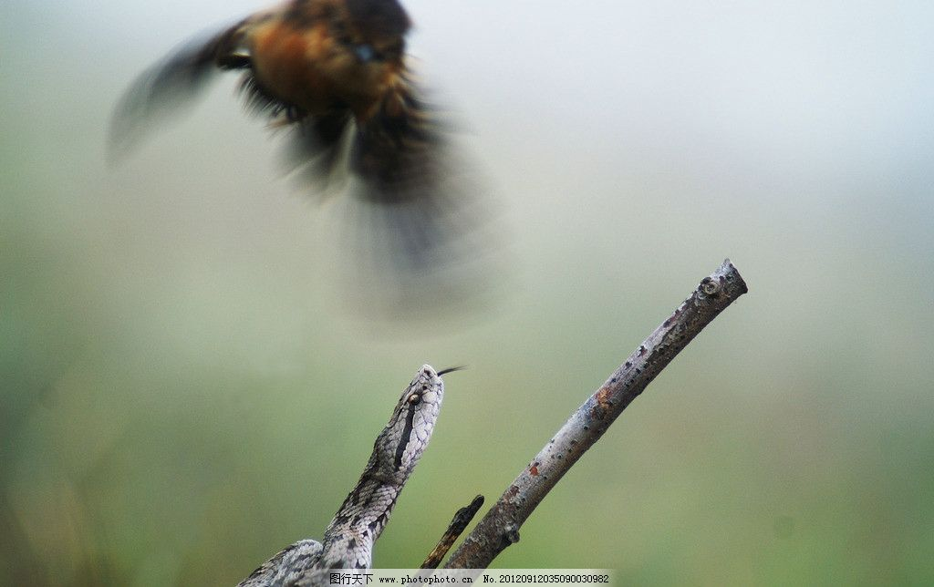 蛇捕鸟 毒蛇 捕捉 飞鸟 食物链 野生动物 生物世界 摄影 72dpi jpg