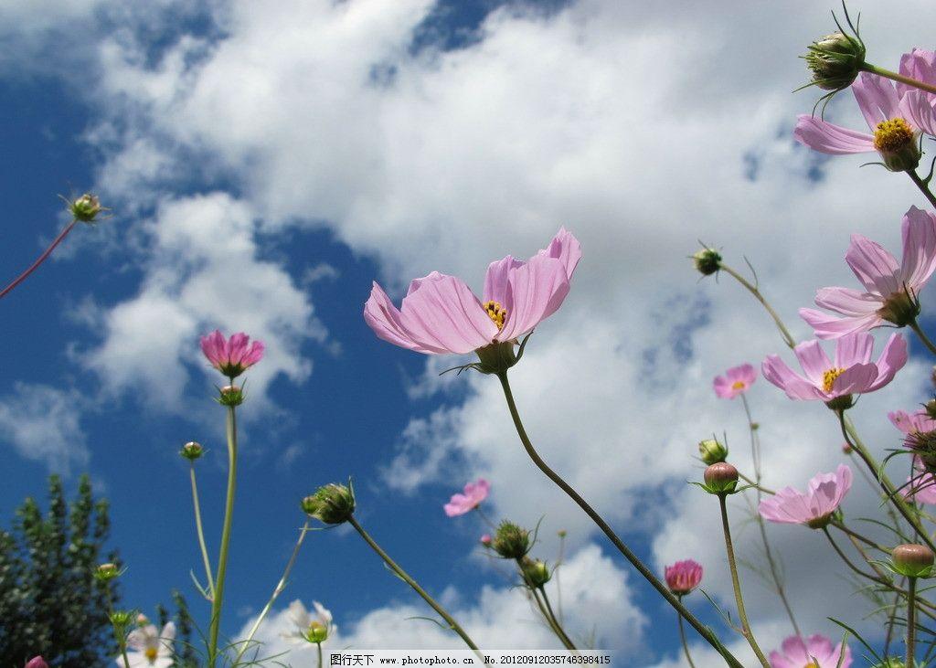 小花 蓝天 白云 花朵 格桑花 秋英花 花草 生物世界 摄影 180dpi jpg