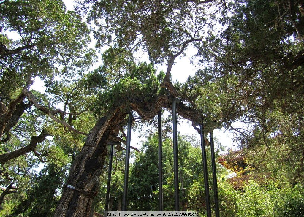 柏树 故宫 御花园 绿树