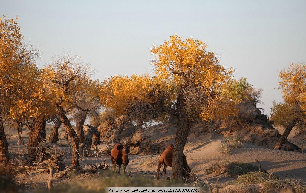 胡杨林 秋色 大自然风光 黄叶子 树木 树木树叶 生物世界 摄影 72dpi
