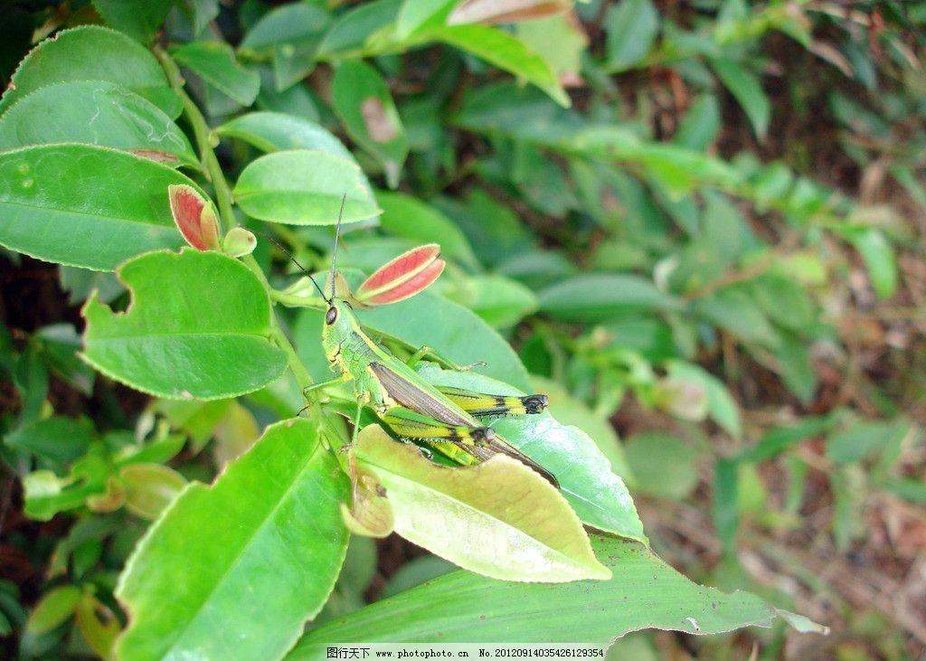 昆虫 虫子 害虫 甲虫 天牛 绿叶 树叶 叶子 昆虫虫子 生物世界 摄影 7