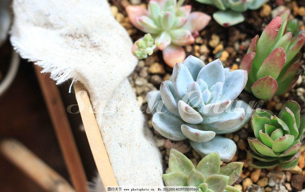 多肉植物 绿色植物 霜之朝 火祭 秋丽 盆栽 摄影