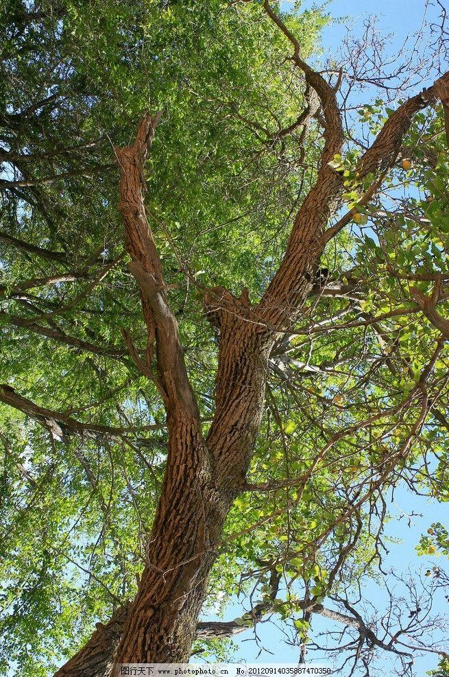 枣树 植物 树木 树枝 绿叶 蓝天 天空 树木树叶 生物世界 摄影 180dpi