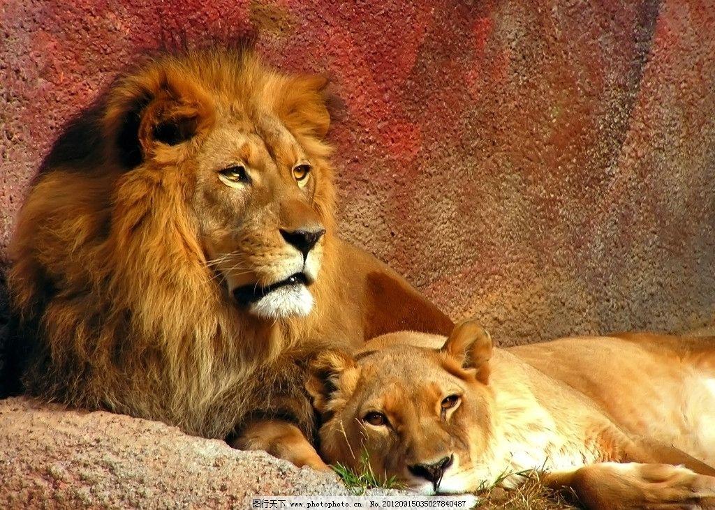 狮子 雄狮 母狮 非洲 野生动物 生物世界 摄影