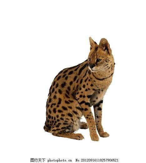 豹猫 高清 动物写真 猫科动物 透明背景 psd分层素材 源文件 300dpi