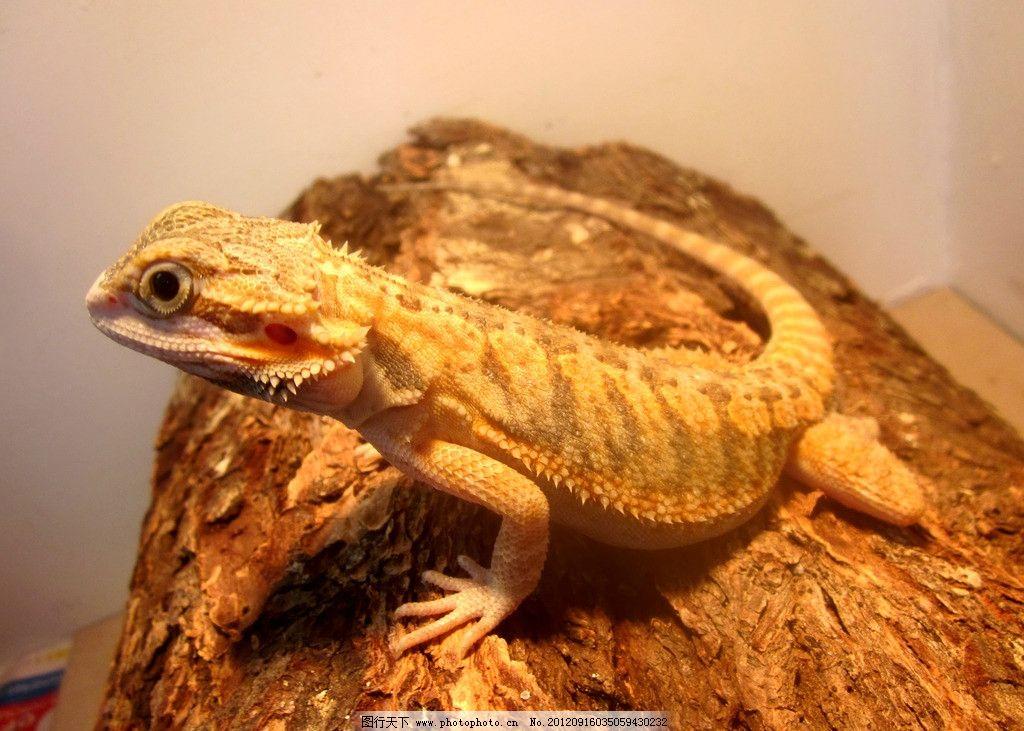 蜥蜴 野生动物 爬虫类 冷血动物 四脚蛇 四足蛇 爬行动物 蜥蜴图片