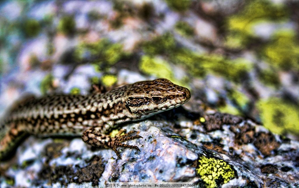 蜥蜴 爬虫类 冷血动物 四脚蛇 四足蛇 爬行动物 蜥蜴素材 摄影