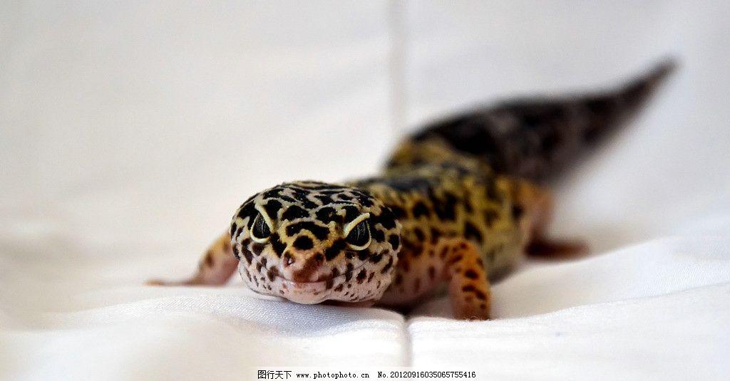 蜥蜴 野生动物 爬虫类 冷血动物 四脚蛇 四足蛇 爬行动物 蜥蜴图片 蜥