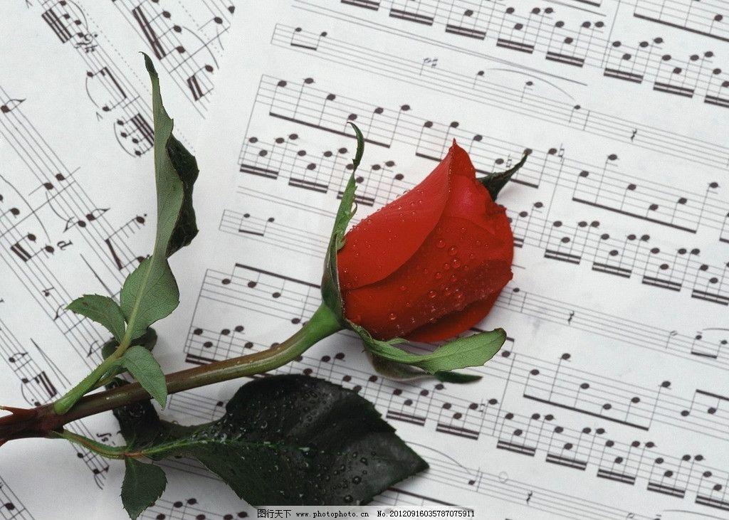 玫瑰音符 红玫瑰 乐谱