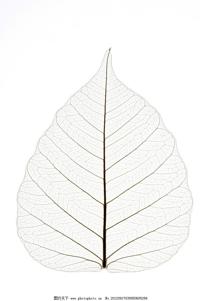 网状叶脉 椭圆树叶 叶脉 叶子纹理 高清叶脉 树叶底纹 叶脉交错 春天