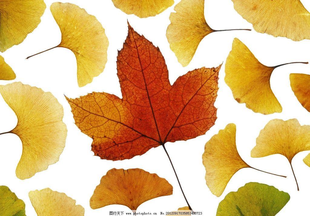 枫叶 银杏叶图片图片