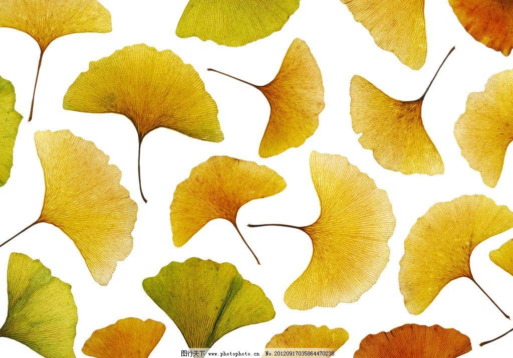 银杏叶 银杏树叶 黄色银杏叶 银杏叶背景 银杏叶底图 一叶知秋 秋天背景 秋天素材 植物世界 树木树叶 生物世界 摄影 350DPI JPG