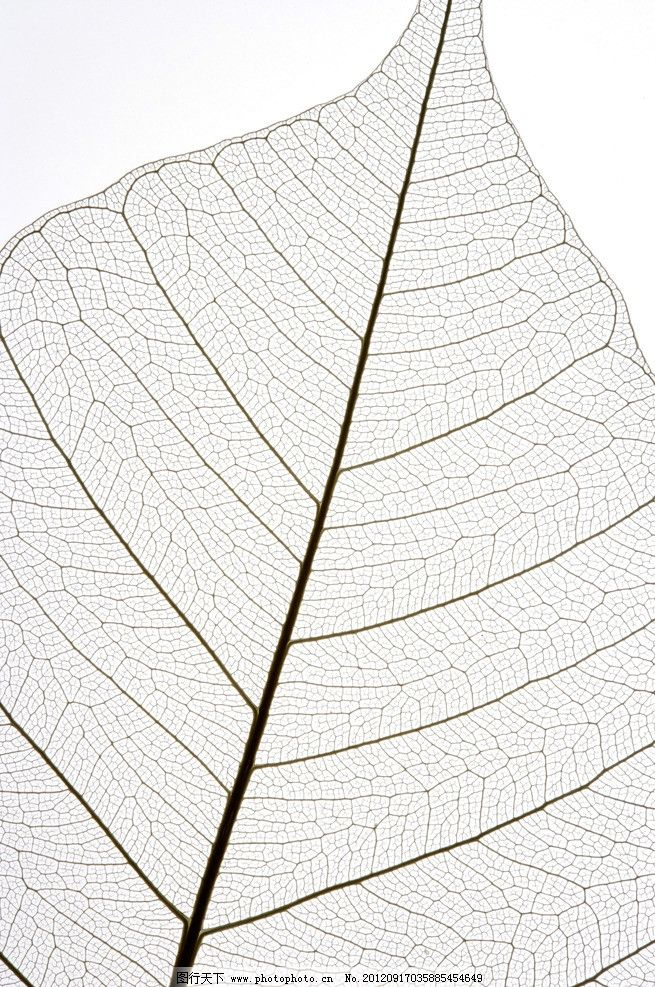 网状叶脉 椭圆树叶 叶脉 叶子纹理 高清叶脉 树叶底图 春天树叶 春天