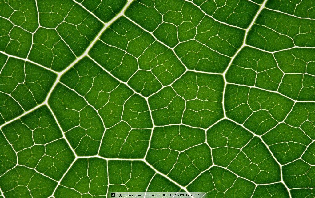 树叶 叶脉 绿树叶 叶子纹理 绿叶 网状叶脉 高清树叶 树叶底图 春天树