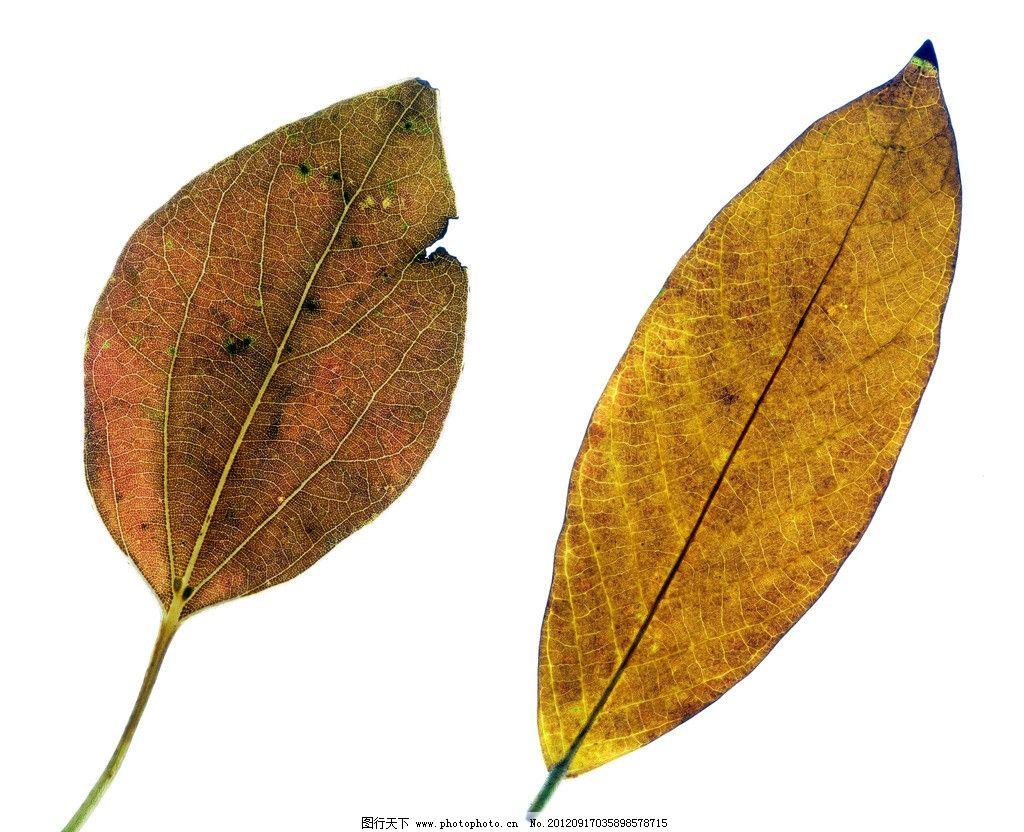 枯树叶 树叶标本图片