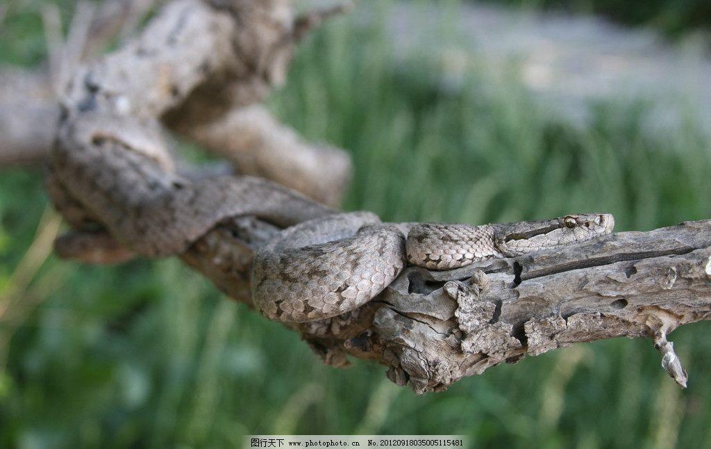 蝮蛇 树枝 动物 爬行 冷血 近景 摄影