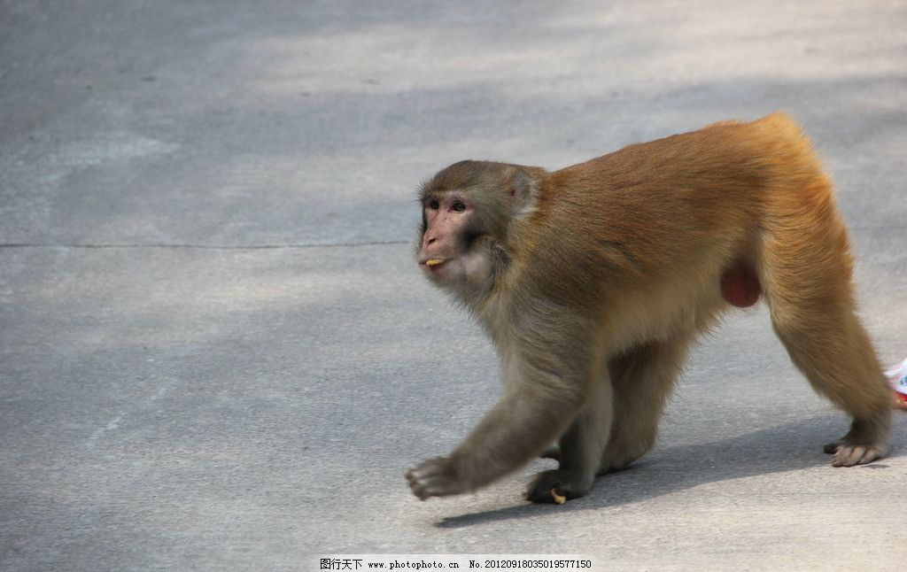 猴子 吃饼干的猴子 动物世界 摄影