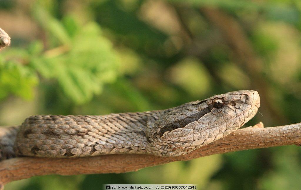 蝮蛇 树枝 动物 爬行 冷血 近景 野生动物 生物世界 摄影 72dpi jpg